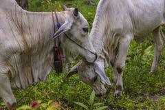 comw de vache et de mère à bébé dans la forêt Image libre de droits