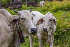 comw de vache et de mère à bébé dans la forêt Images stock