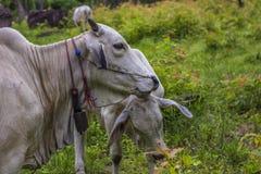 comw de vache et de mère à bébé dans la forêt Image stock