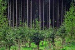 Conífera del cuarto de niños de la planta del bosque del pino Fotos de archivo