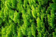 Conífera del verde fresco en el jardín Fotografía de archivo libre de regalías