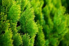Conífera del verde fresco en el jardín Fotografía de archivo