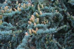 Coníferas/árvore Spruce Imagem de Stock Royalty Free