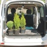 Coníferas en potes en el tronco de un coche Foto de archivo libre de regalías