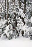 Coníferas nevadas Imágenes de archivo libres de regalías