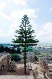 Coníferas sempre-verdes da araucária nas ruínas velhas e no fundo de Carthage novo Tunísia Foto de Stock Royalty Free
