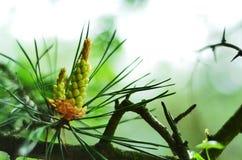 Coníferas, sempre-verdes, espinhos, coníferas, bokeh Fotos de Stock