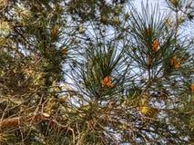 Coníferas velhas bonitas no parque Feche acima da vista de agulhas spruce do cone e do pinho foto de stock
