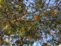 Coníferas velhas bonitas no parque Feche acima da vista de agulhas spruce do cone e do pinho fotografia de stock