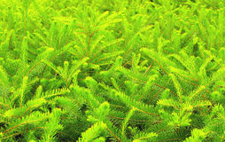 Coníferas verdes do pinho Fotos de Stock
