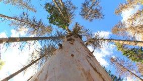 Conífero e árvores de folhas mortas video estoque