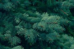 Conífero verde de la textura del pino Fondo conífero de la textura del pino, verde verde Modelo natural Primer abstracto del te v imagen de archivo libre de regalías