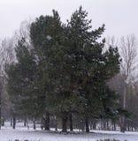 Conífero y árboles de hojas caducas en el fondo de la primera nieve en el parque del otoño Imagenes de archivo