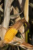 Con cob. Yellow ready to harvest corn cob Stock Image