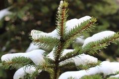 con el pino nevoso fotografía de archivo