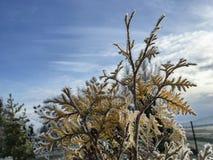 Con la helada cubierta ramas de árbol conífero Fotos de archivo libres de regalías