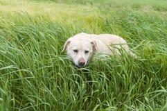 Con Labrador jugando en hierba Fotografía de archivo