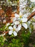 Con las flores delicadas de la cereza foto de archivo libre de regalías