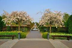 Con los árboles florecientes (triloba del Prunus) en Keukenhof Fotografía de archivo libre de regalías