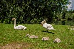 Con los cisnes con los perritos Imagen de archivo libre de regalías