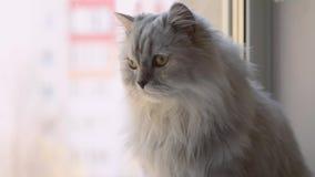 Con los ojos de color verde amarillo, primer escocés de la raza del doblez del gato almacen de metraje de vídeo