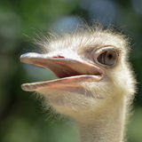 Con men look Ostrich Head Royalty Free Stock Images