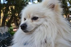 Con Pomeranian Fotografie Stock