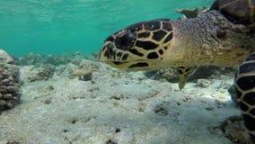 Con una tortuga en arrecife de coral almacen de video