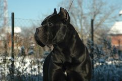 Conan Cane Corso Fotos de Stock Royalty Free