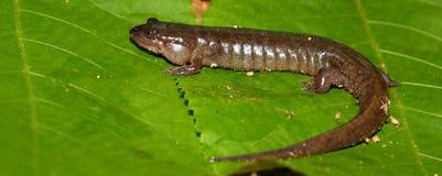 conanti desmognathus暗淡的蝾 图库摄影