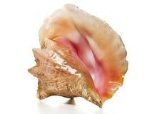 Conca della regina - lumaca di mare dello Strombus  Fotografia Stock