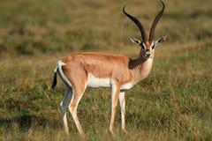 Concede a gazela imagem de stock