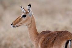 Concede a gazela Foto de Stock