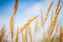 Conceito abstrato do trigo e do fundo da agricultura Imagens de Stock