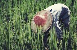 Conceito asiático da cultura de Harvesting Rice Nature do fazendeiro Foto de Stock Royalty Free