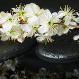 Conceito bonito de pedras do zen, ameixa de florescência dos termas do galho Fotos de Stock Royalty Free