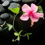 Conceito bonito dos termas do hibiscus cor-de-rosa delicado, gavinha verde Foto de Stock