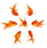 Conceito com peixe dourado fotografia de stock royalty free