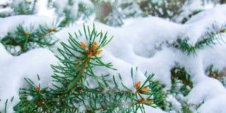 Conceito da beleza do inverno na floresta nevado do abeto imagem de stock