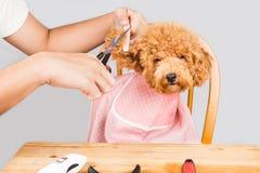 Conceito da pele do cão de caniche que está sendo cortada e preparada no salão de beleza foto de stock