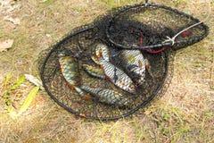 Conceito da pesca Peixes de água doce na gaiola fotos de stock