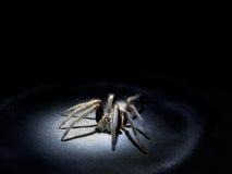 Conceito de Arachnophobia Grande aranha peludo no projetor Macro imagens de stock royalty free