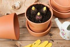 Conceito de jardinagem Bulbos do tipo de flor Lata molhando Imagens de Stock Royalty Free