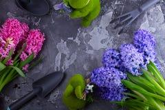 Conceito de jardinagem com as flores frescas do jacinto Imagens de Stock