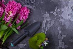 Conceito de jardinagem com as flores frescas do jacinto Fotos de Stock