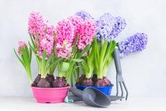 Conceito de jardinagem com as flores frescas do jacinto Fotos de Stock Royalty Free