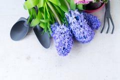 Conceito de jardinagem com as flores frescas do jacinto Fotografia de Stock