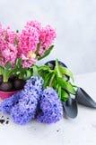 Conceito de jardinagem com as flores frescas do jacinto Foto de Stock