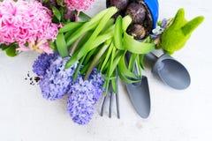 Conceito de jardinagem com as flores frescas do jacinto Imagem de Stock Royalty Free