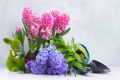 Conceito de jardinagem com as flores frescas do jacinto Imagens de Stock Royalty Free